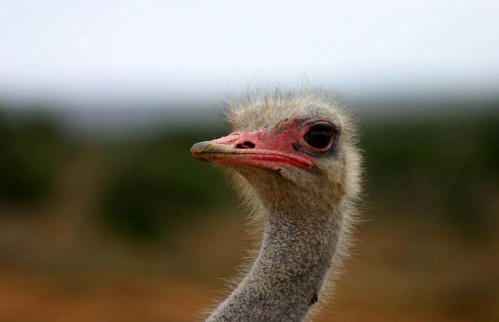 Head_of_Ostrich.jpg